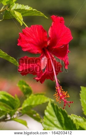 A red hibiscus flower.Hibiscus is Malaysia's national flower where it's locally known as the Bunga Raya