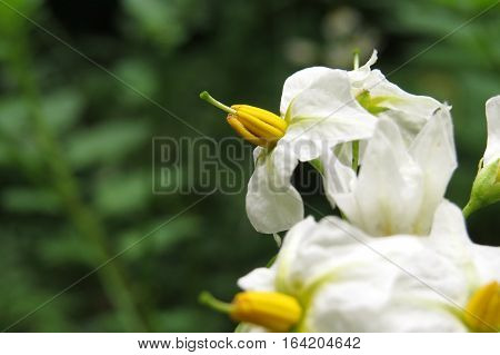Black nightshade flowers growing in garden yellow white