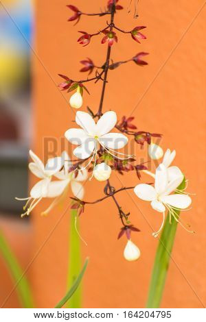Nodding Clerodendron flower , beauty in nature