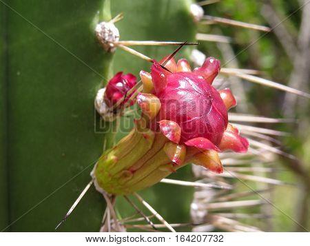 Red desert cactus cacti flower in full bloom