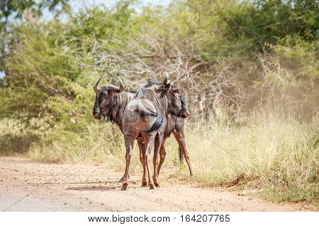 Two Blue Wildebeest On The Road.