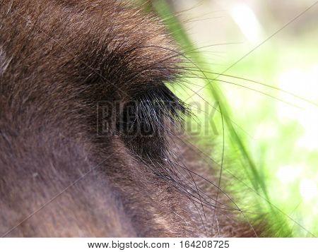Australian kangaroo marsupial animal close up of eye lashes