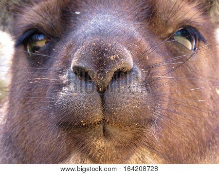Australian kangaroo marsupial animal close up of face