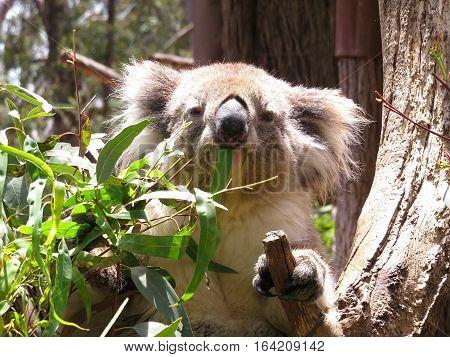 Australian koala marsupial animal in a tree eating gum leaves