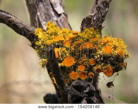 Yellow lichen fungi growing on a tree branch
