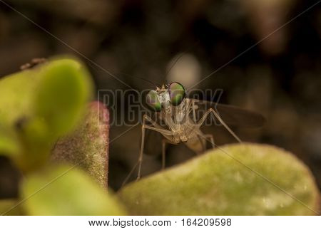 Beautiful Fruit Fly , closeup macro Fruit Fly