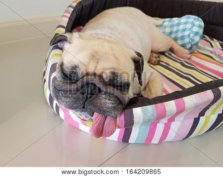Close up face of cute funny puppy pug dog sleep rest on pillow bed with tongue sticking out. Funny pug dog in lazy time.