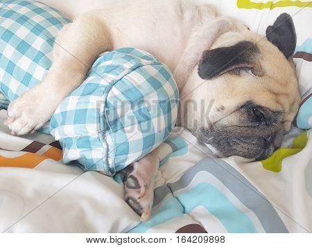 Funny cute puppy pug dog sleep rest on one's side cuddling bolster