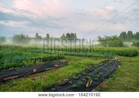 Beds with strawberries at early spring Russia The Urals