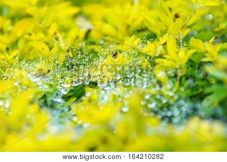 Dew on a spider perched fiber on top of yellow leaves at Khun Wang Doi Inthanon Thailand.