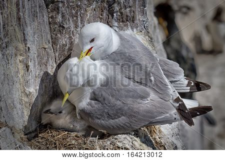 A pair of Kittiwakes nesting and perched on a cliff ledge protecting their chick