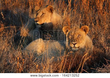 Two lionesses soaking up the evening sun