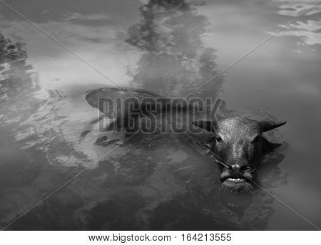 BLACK AND WHITE PHOTO OF WATER BUFFALO WALLOWING IN WATER