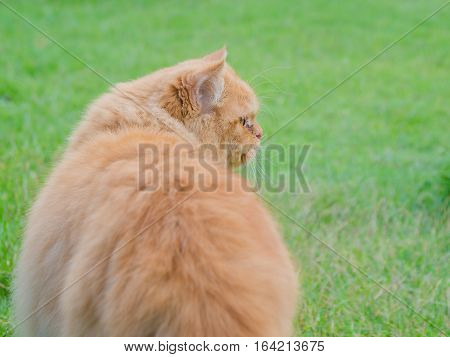 Persia cat in green grass meadow in thailand