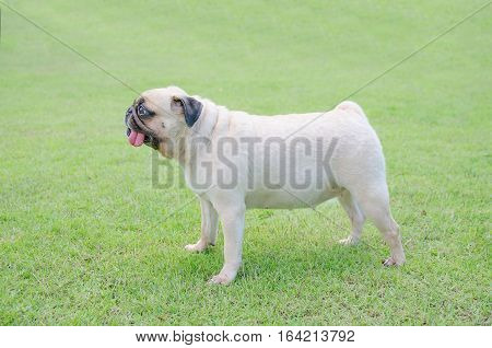 happy funny lovely cute puppy pug dog playing outdoor in green field