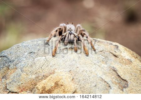 Baboon Spider On A Rock.
