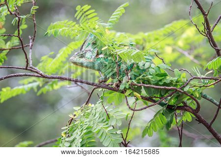 Veiled Chameleon Hiding On A Branch.