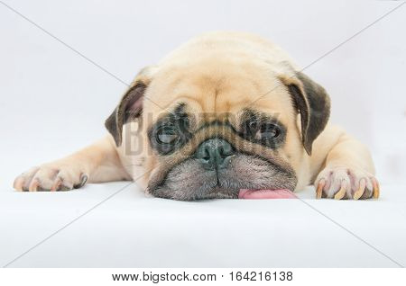 Cute puppy pug dog sleeping tongue out on the ground on white background