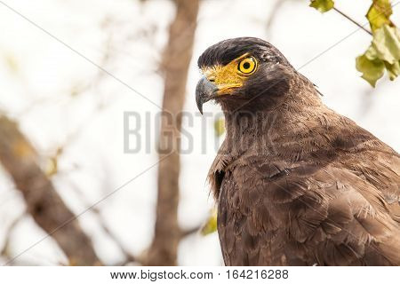 Crested serpent eagle (Spilornis cheela). The crested serpent eagle (Spilornis cheela) is a medium-sized bird of prey that is found in forested habitats across tropical Asia.