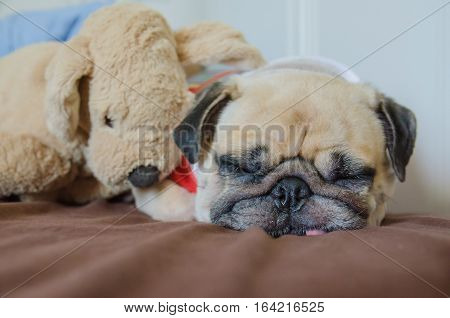Close up face of Cute pug puppy dog sleeping on the bed have snot from cold near dog doll.
