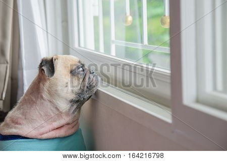 Close-up Face of Cute Pug Puppy Dog Looking Out a Window
