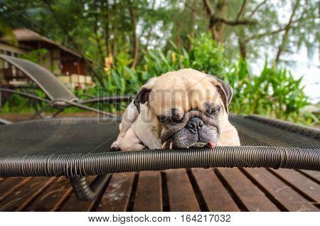 Pug dog Sleep Relaxing on Beach Chair