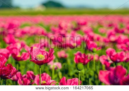 One red poppy blooming with yellow stamens rises above the blurred crowd of the other congeners.