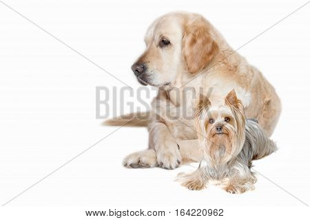 Golden Retriever and Yorkshire Terrier Dog lying isolated on the white background.