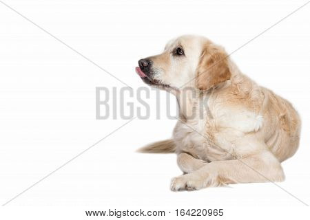 Golden Retriever Dog is lying on the white background. Dog is looking sideways and has propped out tongue
