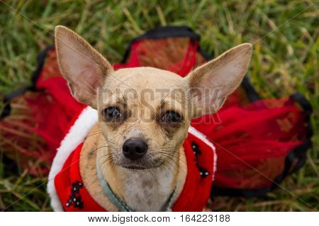 Chihuahua dog portrait with the dog wearing a red dress