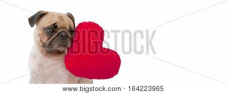 A cute lover valentine Pug puppy dog with a red heart isolated on white background for banner size (Happy Valentine's Day)