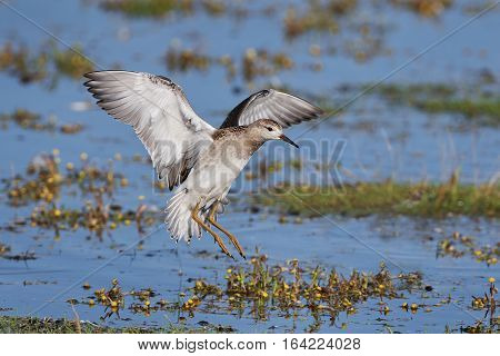 Ruff in flight with water and vegetation in the background