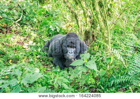 Resting Silverback Mountain Gorilla.