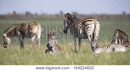 Zebra herd resting on short green grass in a nature reserve