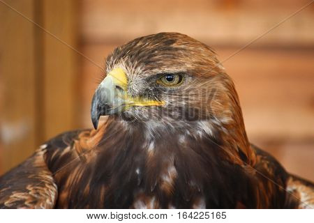portrait of a magnificent golden eagle predator bird