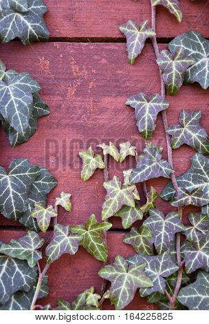 Ivy crawling over wooden boards. Ivy. Plant garden.
