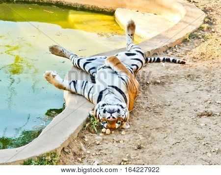 Tiger sweltering because of hot near a pool
