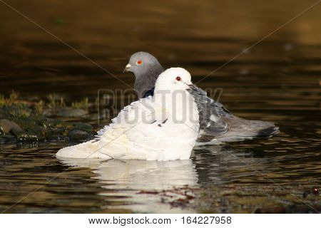 A white pied Pigeon and grey pigeon prepared to bath in a river