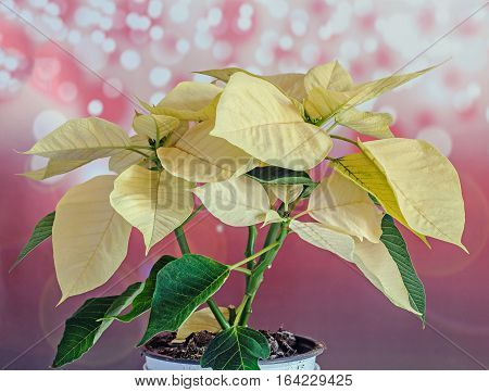 The Poinsettia Yellow Flowers (euphorbia Pulcherrima), The Flower Of The Christmas, Red Bokeh Lights