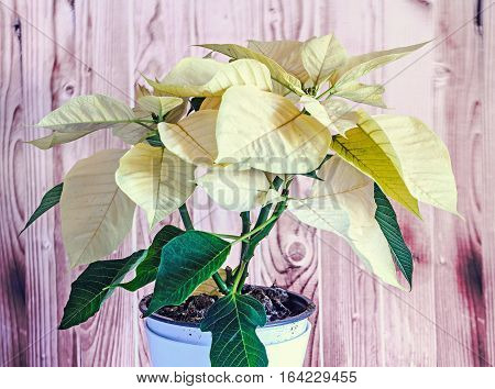 The Poinsettia Yellow Flowers (euphorbia Pulcherrima), The Flower Of The Christmas, Wooden Backgroun