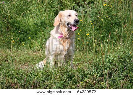 a beautiful golden retriever pet gundog sitting