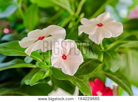 White Impatiens Flowers, Green Leaves Background, Close Up