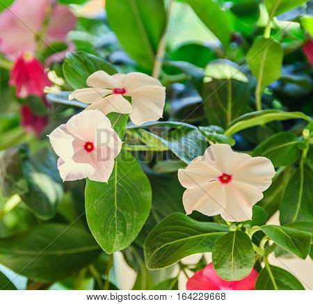 White Petunias Flowers, Green Leaves, Close Up