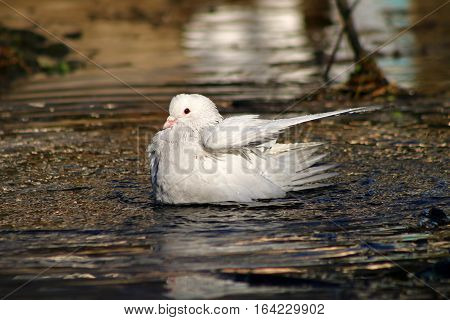 An albino pigeon bathing and washing its wings in a river