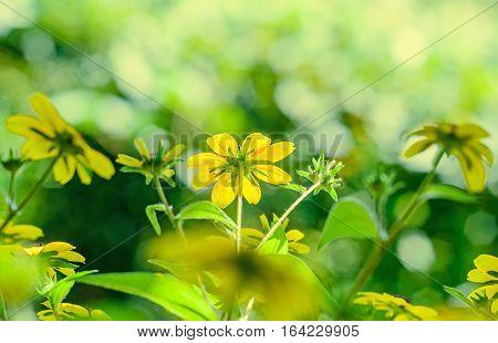Rudbeckia Triloba Yellow Flowers (browneyed Susan, Brown-eyed Susan, Thin-leaved Coneflower, Three-l