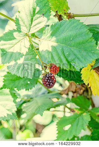 Blackberry Fruit Branch, Rosaceae Family, Close Up
