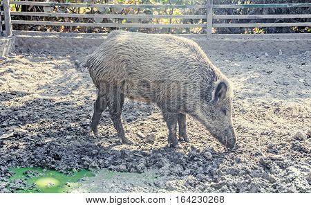 Wild Boar Portrait Close Up In The Water Mud