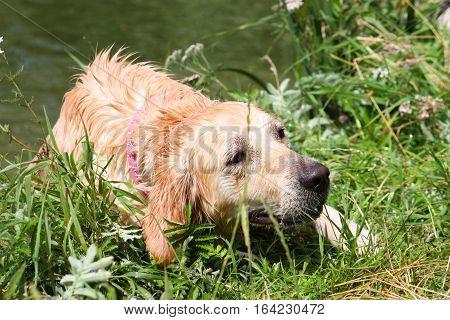 a beautiful wet golden retriever pet gundog