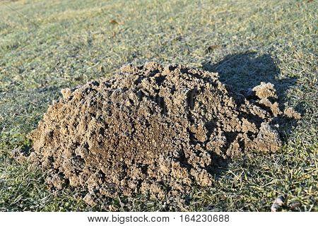 Mole made the garden molehill and frostbitten. Mole.