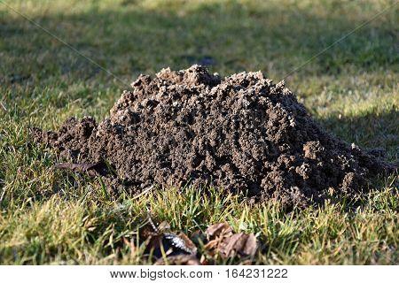 Mole made the garden molehill. Mole. Autumn time.